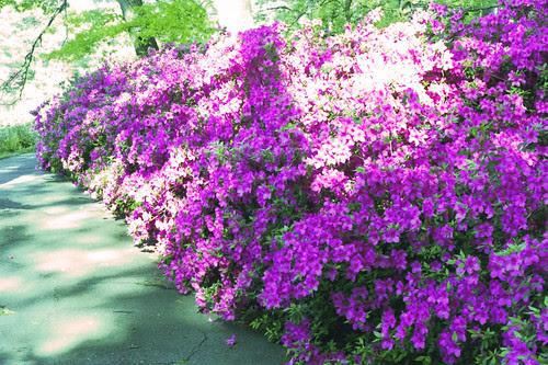 Formosa Azaleas in Bloom by bahayla