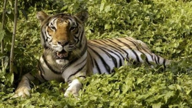 Assam: Forest dept official suspended after Royal Bengal tiger killed in 'unwanted firing' at Kaziranga National Park https://ift.tt/3w3t24L