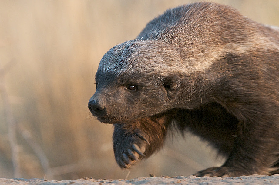 Honey Badger Facts History Useful Information And Amazing Pictures