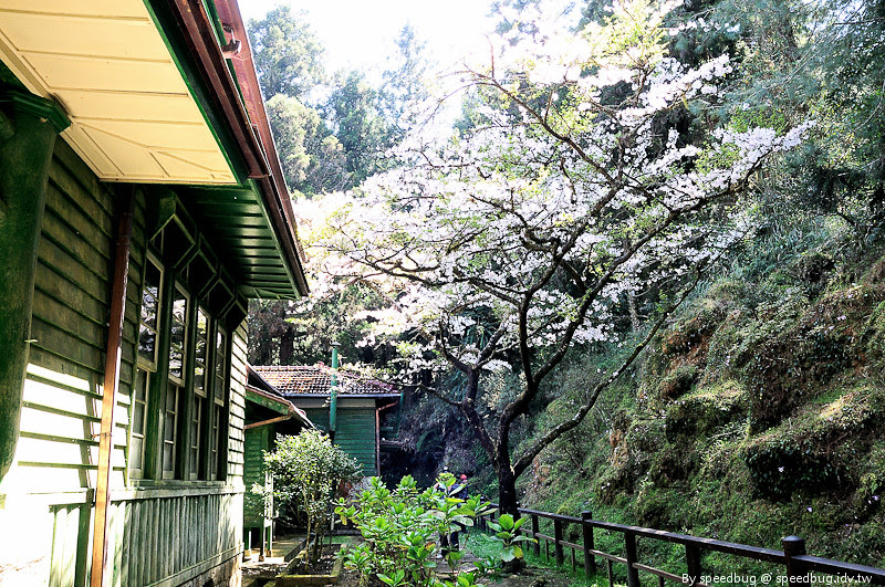 阿里山櫻花108