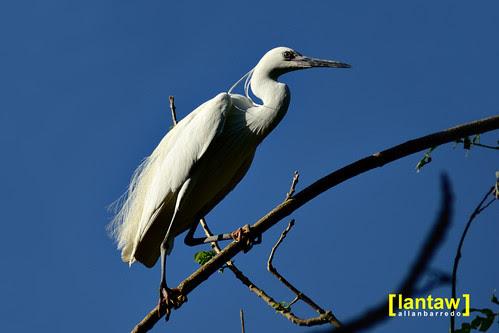 Lesser Egret