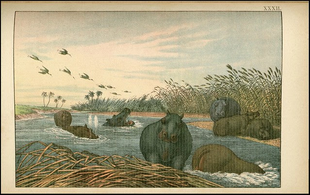 zoological chromolithograph - L'hippopotame
