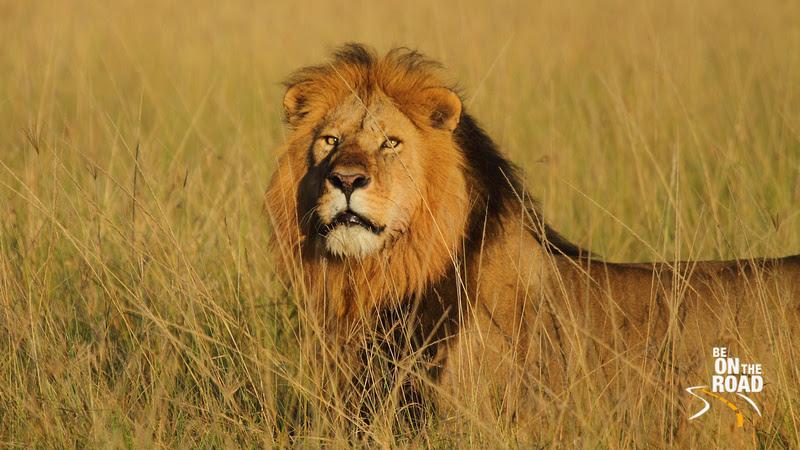 Special Lion Moments from Maasai Mara - 1