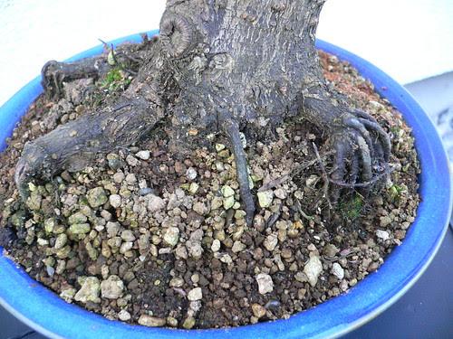Prunus Mume Aus Enger Www Bonsai Fachforum De