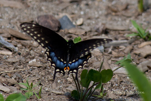 Eastern Black Swallowtail female (Papilio polyxenes)-3.jpg