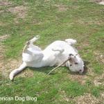 Maya - American Dog Blog