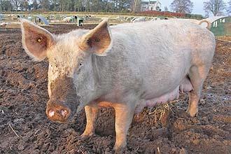 Holandeses fazem carne de porco de um centímetro com células-tronco; a nova técnica pode ser alternativa à criação de rebanhos