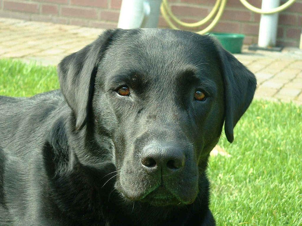 Buy Black Lab Puppies Newfoundland And Labrador Canada