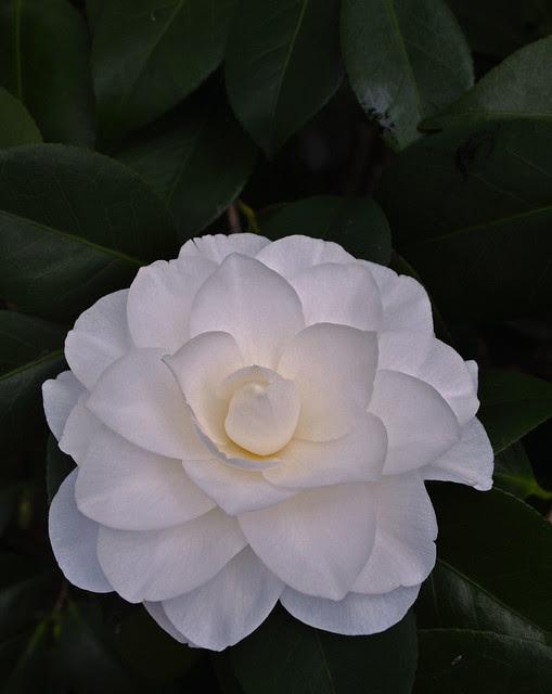 Camellia japonica 'Nuccio's Gem' (2)