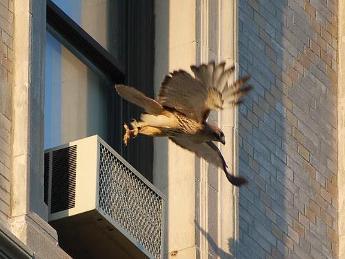 Isolde Takes Flight