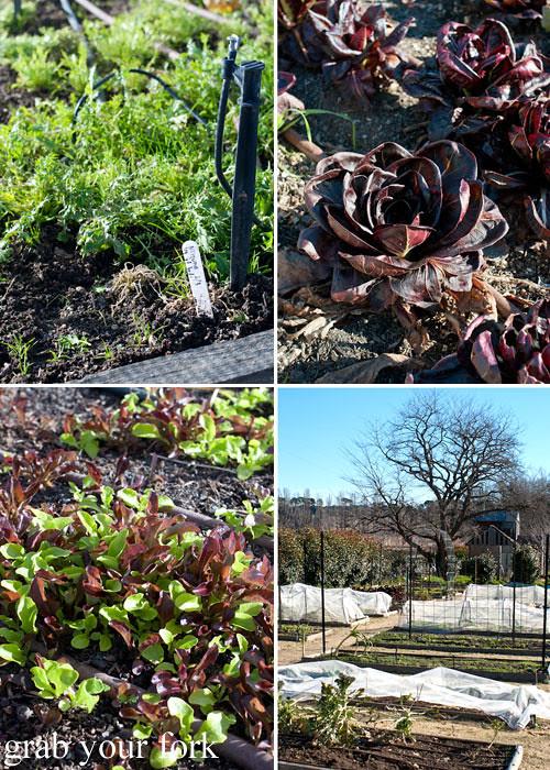 Mizuna lettuce radicchio and salad leaves in the restaurant garden plot at Grazing in Gundaroo