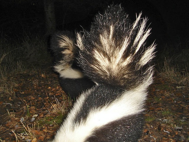 2 striped skunks