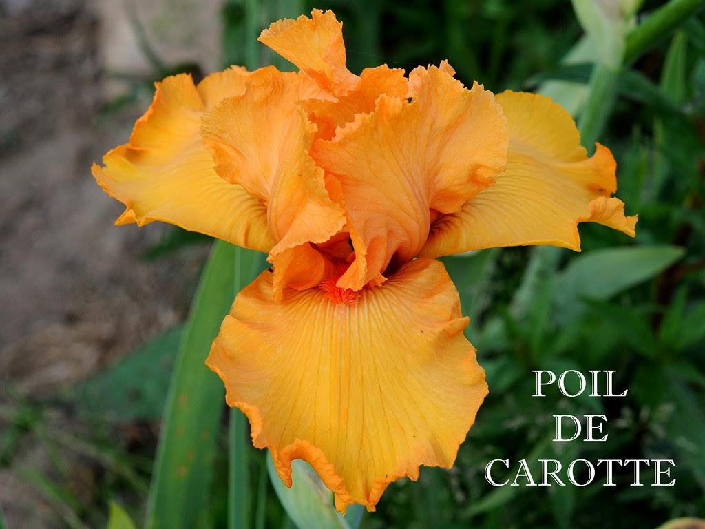 """Résultat de recherche d'images pour """"poil de carotte """""""