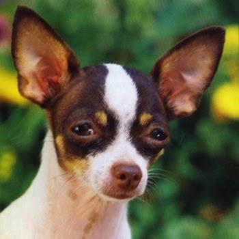 Chihuahua Perro
