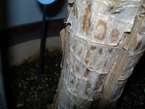Dracaena Split Trunk