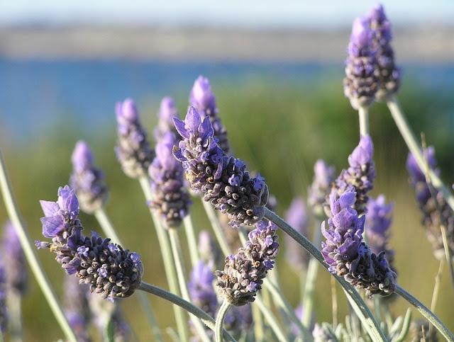 http://www.chefursula.com/wp-content/uploads/2014/07/lavender-19235_640.jpg
