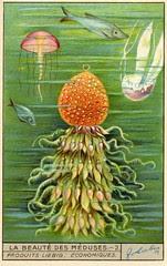meduse 2