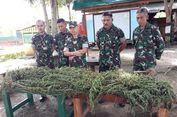 Satgas Pamtas Temukan Dua Ladang Ganja di Papua
