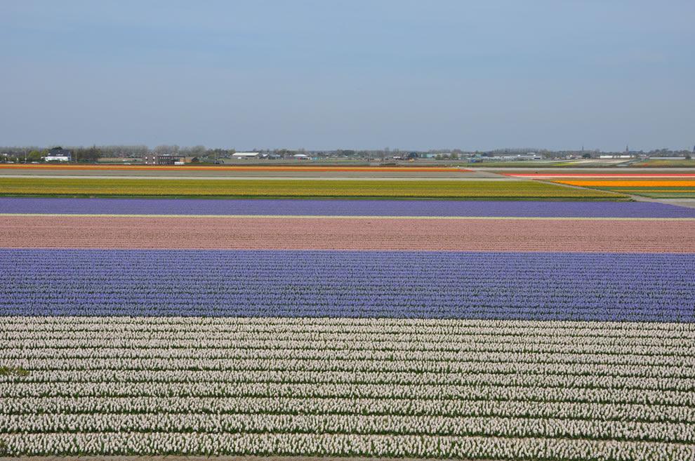 Αγροτεμάχια Tulip έξω από Lisse, δίπλα στο Keukenhof, Ολλανδία