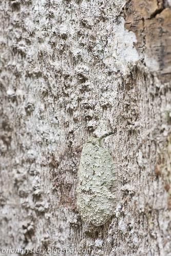 Eurybrachyidae planthopper, genus: <i>Thessitus</i>, IMG_3615 copy