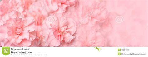 Beautiful Pink Carnation Flower Header Stock Image   Image