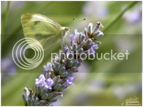 photo macro papillon pieride lavande juillet 2009