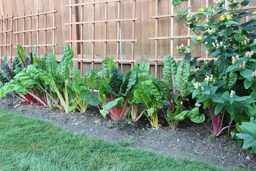 backyard rhubarb