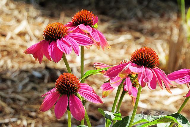 IMG_5794PowWowWildBerryConeflowers