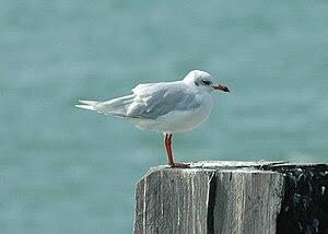 Mediterranean Gull (Larus melanocephalus) Sout...