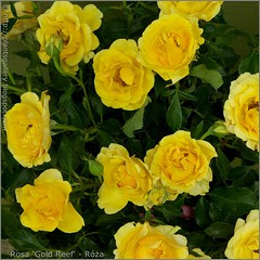 'Gold Reef'
