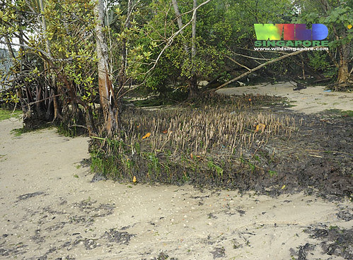 Erosion at the mangroves of Chek Jawa