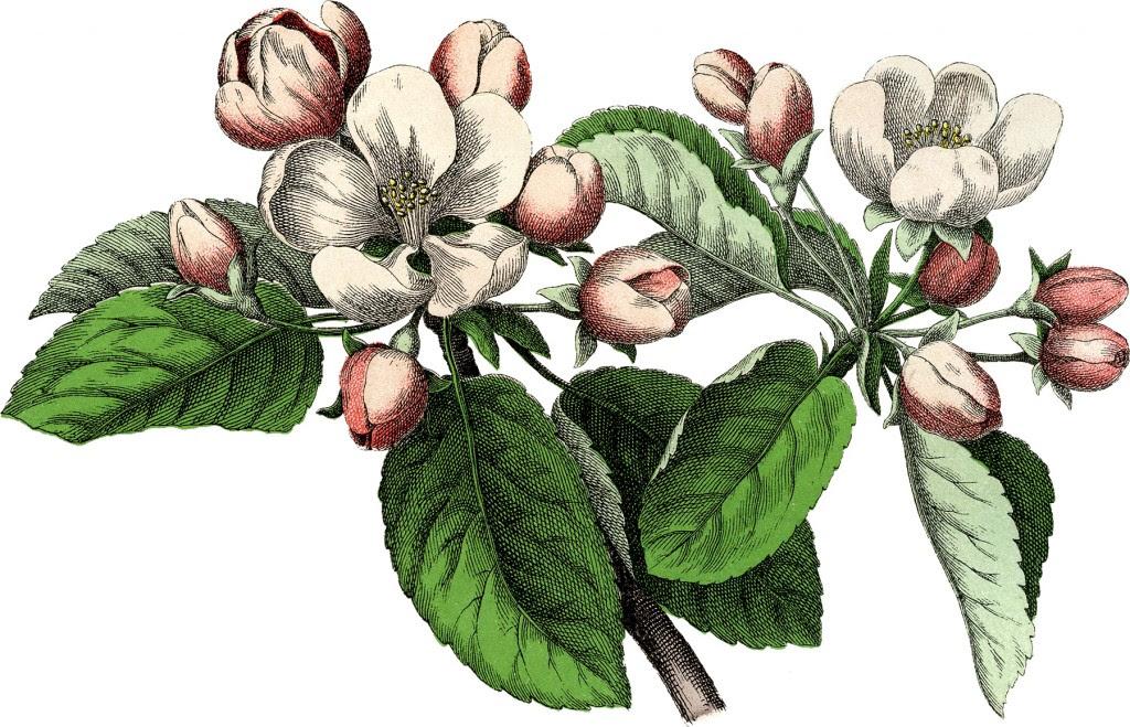 Vintage Apple Blossom Image
