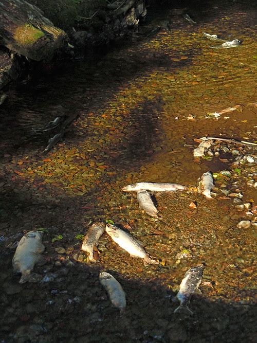 dead fish in Son-i-Hat Creek, Kasaan, Alaska