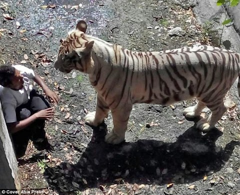Moment Drunk Man was hauled to death by a white tiger after jumping into enclosure at New Delhi Zoo