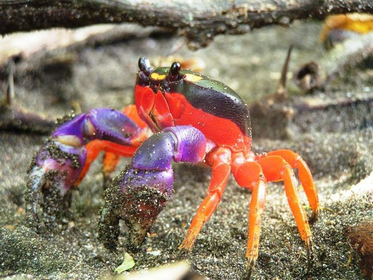 Colorful crab blindness, animal world, creatures of our planet, facts
