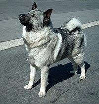 挪威猎鹿犬家犬的一個品種