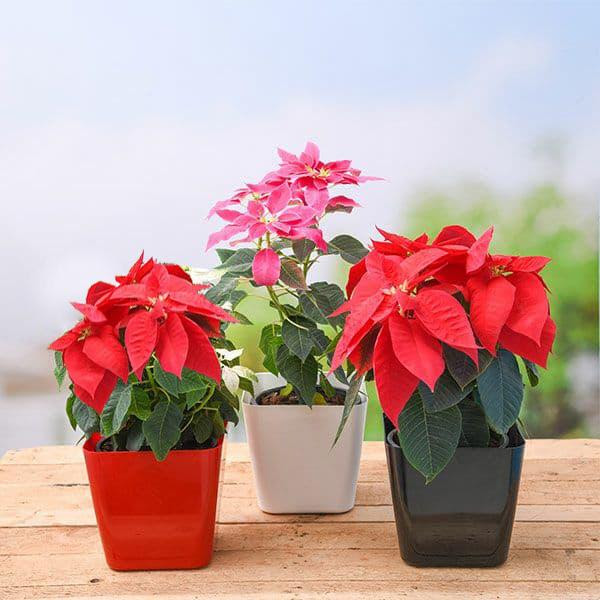 Buy Poinsettia Christmas Flower Pack Of 3 Plants Online From Nurserylive At Lowest Price
