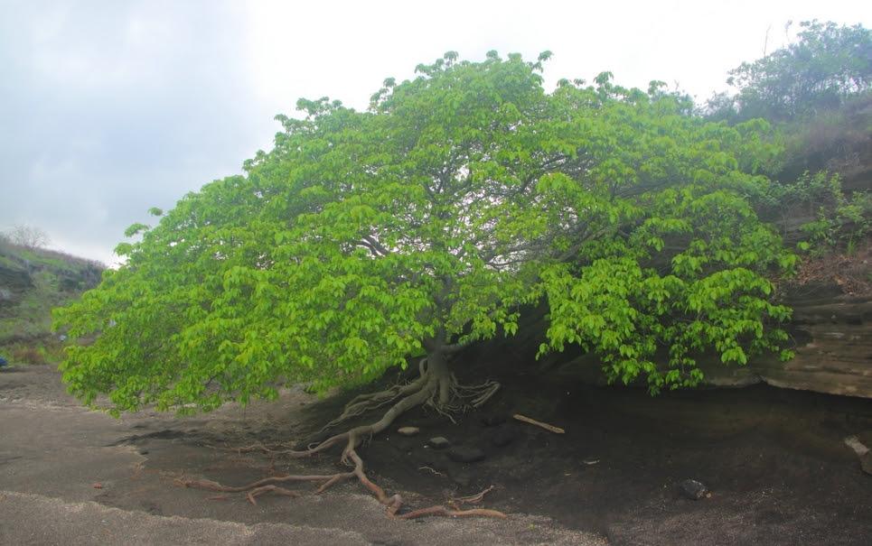 Manchineel: conheça a árvore mais sinistra do planeta