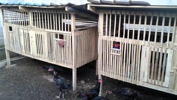 4 Langkah Sukses Beternak Ayam Kampung Artikel Pak Tani