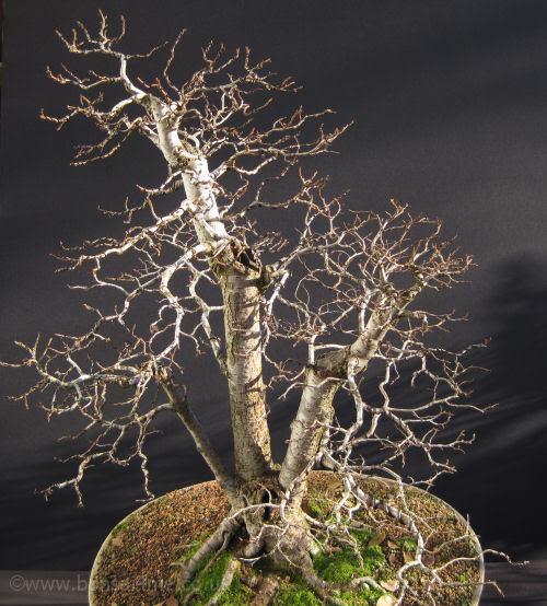 Siberian Elm Bonsa