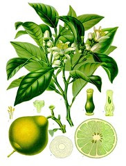 Bergamot from Koehler's Medicinal-Plants, courtesy of WikiMedia Commons