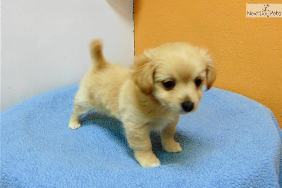 Cara: Pomeranian puppy for sale near Los Angeles ...