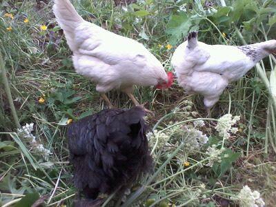 hens and weeding Jul 12