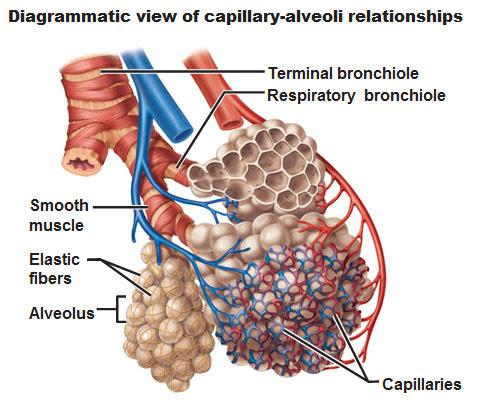 diagrammatic view of capillary alveoli relationship
