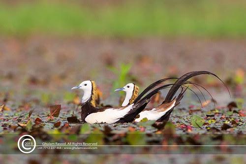 Pheasant-tailed-Jacana by GHULAM RASOOL MUGHAL