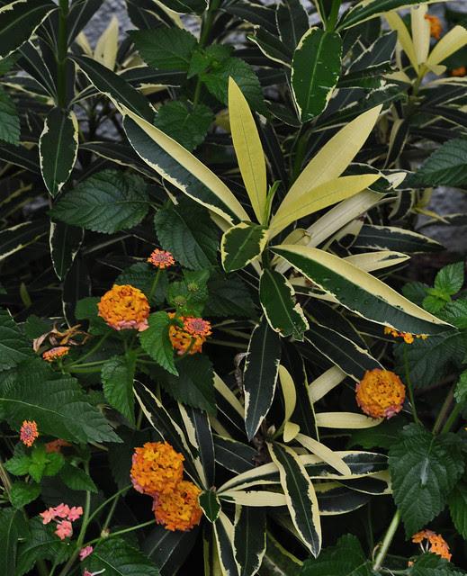 Nerium oleander 'Variegata' and Lantana camara 'Miss Huff'
