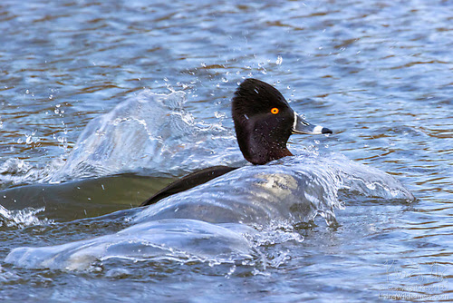Ring-Necked Duck Landing on Promontory Pond, Seattle, Washington