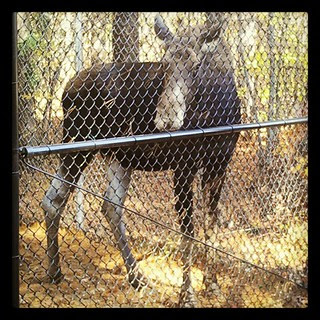 Annie the #moose #maine #wildlife #park #petstagram #pretty #love #fall