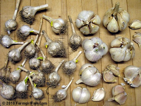 Garlic to be Planted