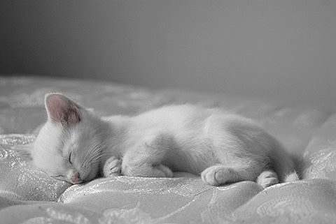 adorable, animais, animal, animales, bed, black and white, blanco, cachorro, cat, cats, cute, dream, feline, felino, fotografia, gato, kitten, kittens, kitties, kitty, pets, photography, pretty, sleep, sleeping, white